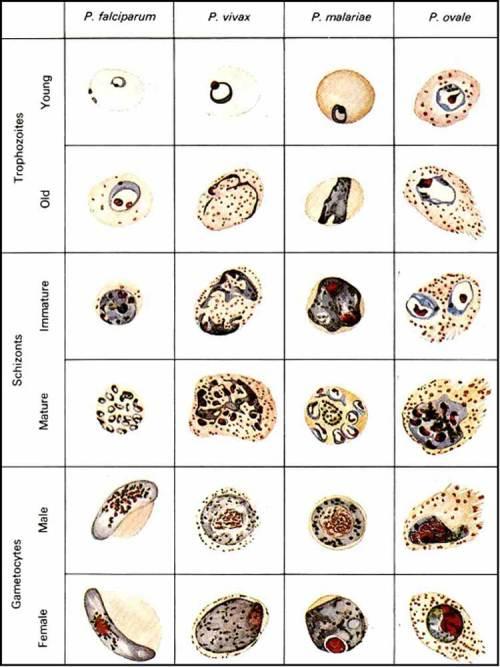 plasmodium-sedian-apus-darah - Files of DrsMed