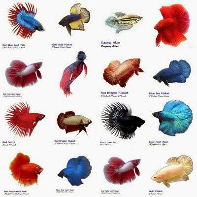 Cupang Sejarah Ikan Cupang Di Indonesia Belibis A 17